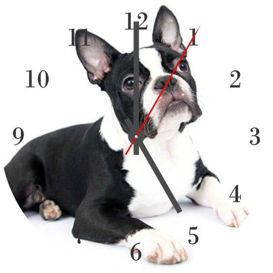 Boston Terrier CD Clock